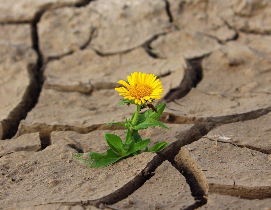 Blume in der Wüste
